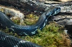 Snake. Black snake Stock Photography