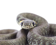 Snake Stock Photos