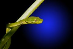 Snake. Chinese green bamboo viper crawling on branch Royalty Free Stock Photos
