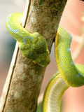 Snake. A snake is crawling on a branch Stock Photography