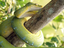 Snake. A snake is crawling on a branch Stock Photos