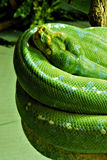 Snake Royalty Free Stock Photo