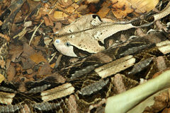 Snake. Bushmaster Pit Viper Camouflaged In Leaves Stock Photography
