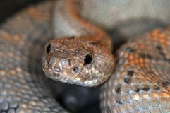 Snake-28 Royalty Free Stock Images