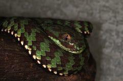 Snake-3 Stock Image