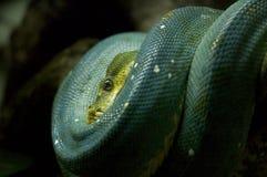 Snake. Resting snake Stock Photos