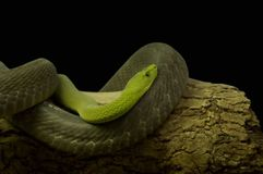 Snake. Green Snake Stock Images