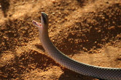 Snake. With open mouth Stock Photography