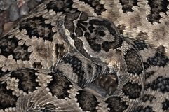 Snake-39 Royalty Free Stock Photo