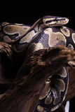 Snake. A baby snake is resting royalty free stock photography
