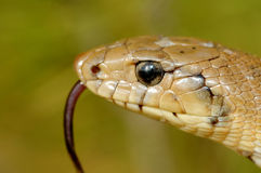 Snake. A portrait of a snake (Elaphe scalaris royalty free stock photography