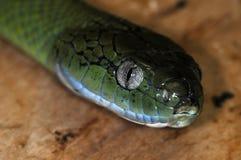 Snake-57 Royalty Free Stock Image