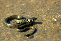 Snake. Little snake in the rock Stock Image