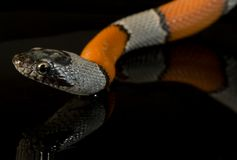 Snake. A coral snake over a mirror Royalty Free Stock Photo