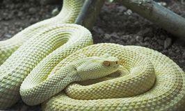 Snake. Albino rattle royalty free stock photos