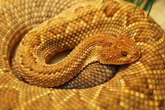 Snake. This is a close shot of a snakes head and coiled body. It is a golden brown colored snake Royalty Free Stock Image