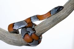 Snake. A great and beautiful snake with great colors Stock Photography