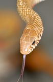 Snake. Closeup of common rat snake royalty free stock image