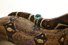 Snake 8. Brown snake with modern jewelrys 8 Royalty Free Stock Photo