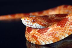 Snake. A great snake eating a mouse Royalty Free Stock Photo