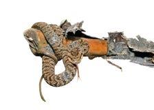 Snake (Agkistrodon saxatilis) 14 Stock Images