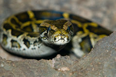 Snake alert. Snake with head raised looking at viewer Royalty Free Stock Images