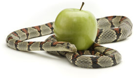 Snake and Apple stock photography