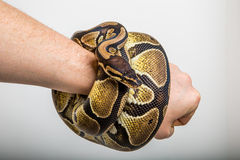 Royal Python. Closeup of a royal or ball python coiled around the arm on studio background Stock Photography