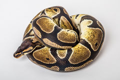 Ball python. Closeup of a african coiled royal or ball python snake on a white background Stock Photos