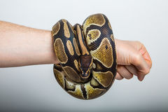 Royal python. Closeup of a royal or ball python coiled around the arm of a person with a studio background Royalty Free Stock Photos