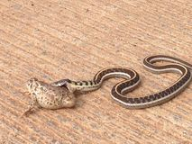 Snake Attacks Toad. A snake trying to take on a large toad royalty free stock image