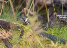 Snake on an autumn swamp. In a thicket of grass Stock Images