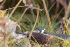 Snake on an autumn swamp. In a thicket of grass Stock Image