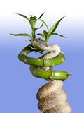 Snake on bamboo stalk Stock Image