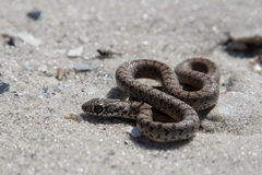 The snake basking on the sand, Stock Photography