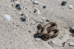 The snake basking on the sand. Royalty Free Stock Photos