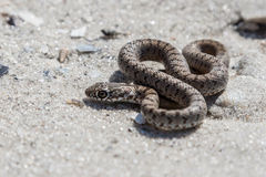 The snake basking on the sand. Royalty Free Stock Image