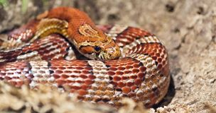 Snake basking Stock Photo