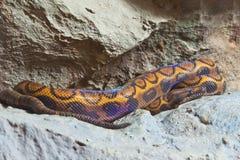 Snake, Bazillian Rainbow Bor Stock Photo
