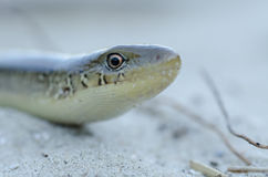 Snake at beach Stock Image