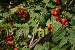 Snake Berries Ripened Royalty Free Stock Photo