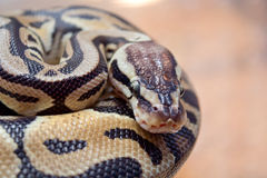 Snake is black and brown Royalty Free Stock Photo