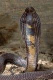 Snake-Black Pakastani cobra. Black Pakastani cobra with his hood flared ready to attack Royalty Free Stock Images