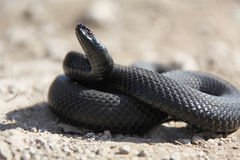 Snake. Black snake ready to attack Royalty Free Stock Photography
