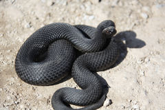Snake. Black snake ready to attack Stock Photo