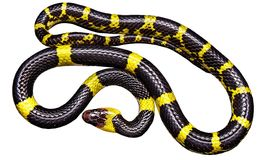 Snake, Black Yellow, Non Toxic Royalty Free Stock Photo
