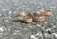 A snake. This snake is called Twin-spotted rat-snake in English,and its decorative pattern is fancy royalty free stock photos