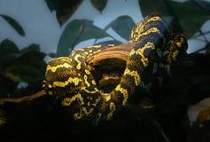 Snake in captivity resting in terrarium royalty free stock image