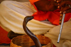 Snake Charmer. Cobra in a basket, with snake charmer's flute visible.  Snake charmer has red tunic and white trousers. Picture was taken in Rajasthan, India in Royalty Free Stock Image