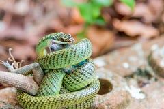 Snake Chrysopelea ornata is eating  lizard Royalty Free Stock Photos